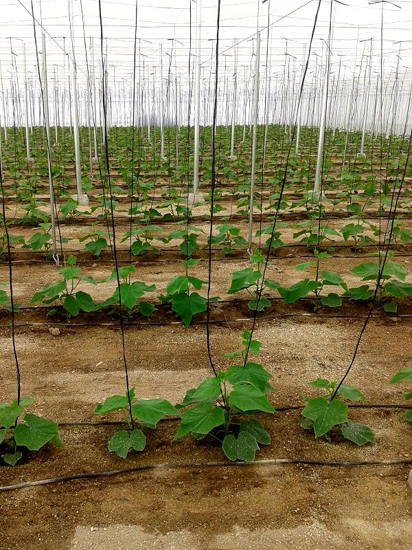 plantacion pepinos