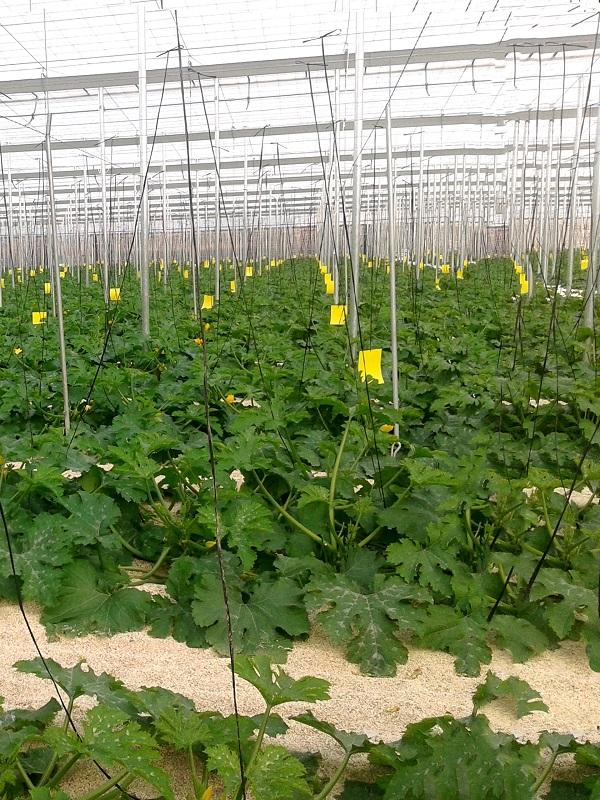 plantacion calabacines