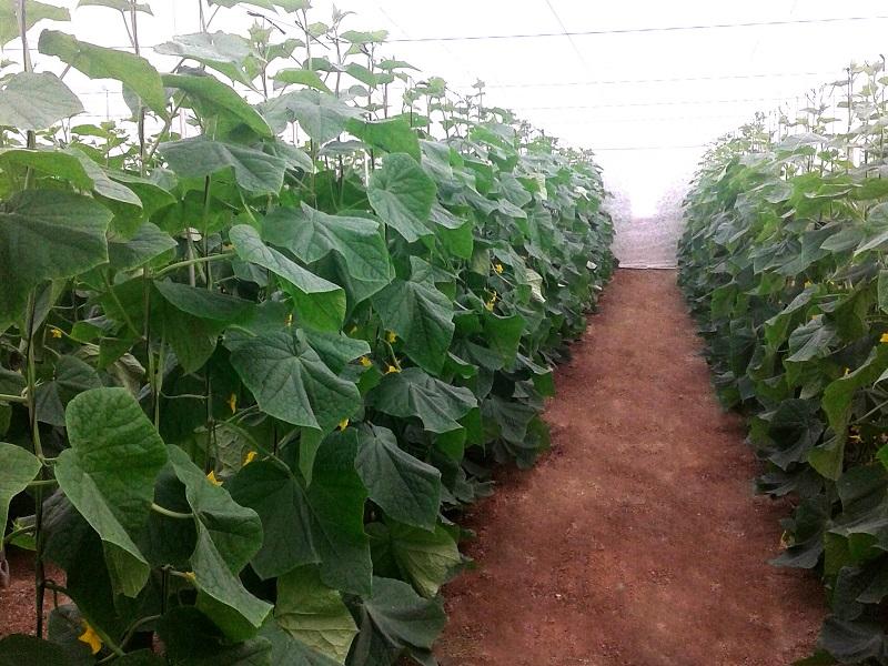 invernadero de pepinos