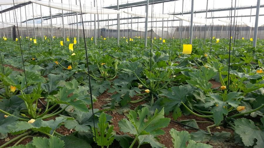http://www.greenvalleyberries.com/galerias/fotos/productos/plantacion calabacines